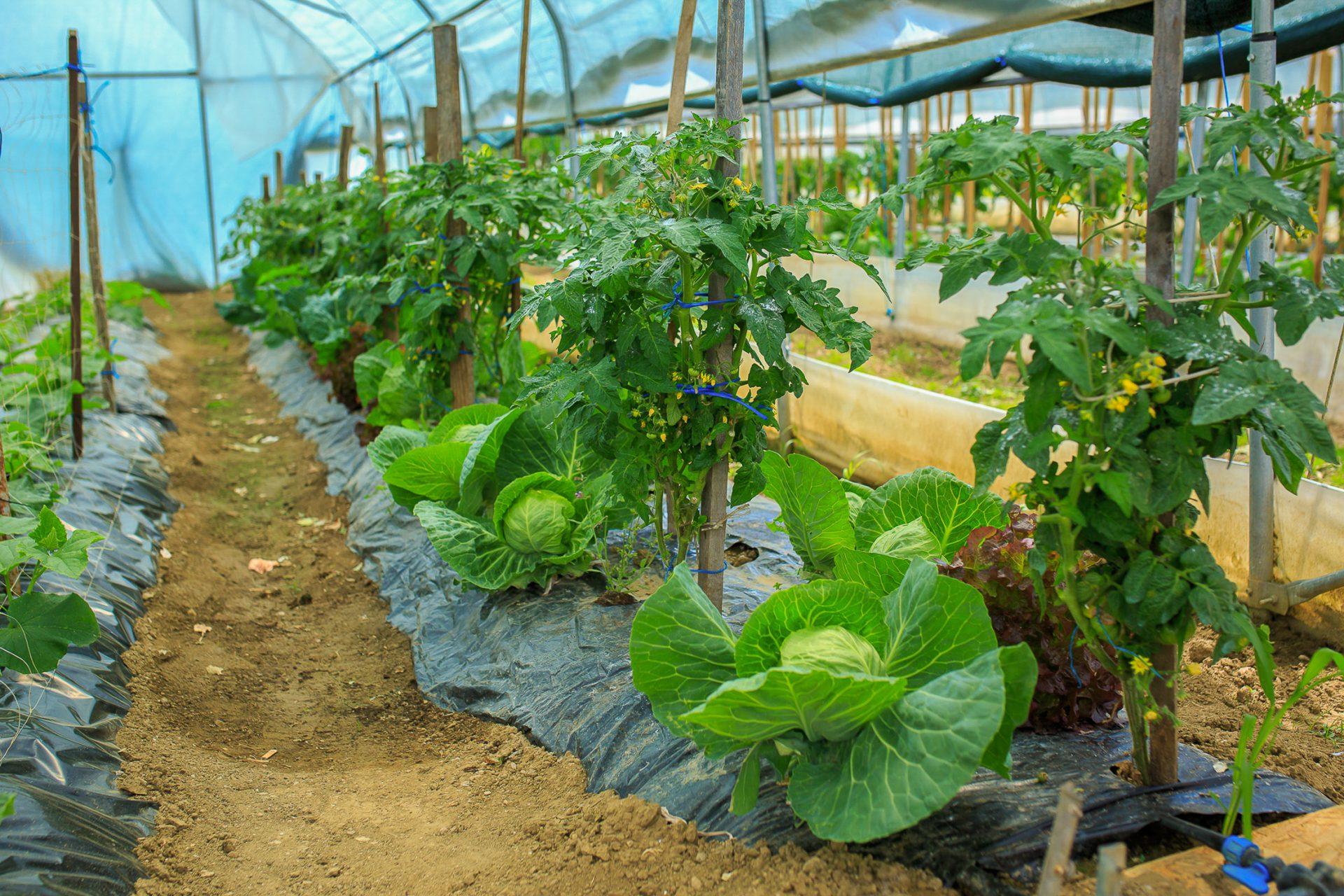 Objavljen natječaj za ulaganja u proizvodnju povrća u plasteniku